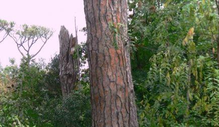 Ischia, Pineta degli Atleti: crollato enorme pino secco